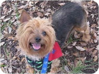 Yorkie, Yorkshire Terrier/Silky Terrier Mix Dog for adoption in West Palm Beach, Florida - Kenzie