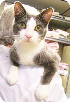 Siamese Kitten for adoption in Toledo, Ohio - Pong
