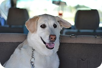 Labrador Retriever Mix Dog for adoption in Gilbert, Arizona - Jill