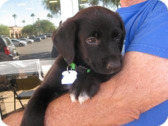 Labrador Retriever/Border Collie Mix Puppy for adoption in Phoenix, Arizona - Pacino