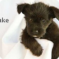Adopt A Pet :: Duke - Mission Viejo, CA