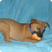 Adopt A Pet :: Baby Artie - Marlton, NJ