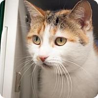 Adopt A Pet :: Mishu - New York, NY