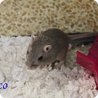 Gerbil for adoption in Bradenton, Florida - Cinco