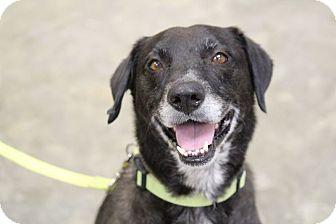 Labrador Retriever Dog for adoption in Jay, New York - Manta