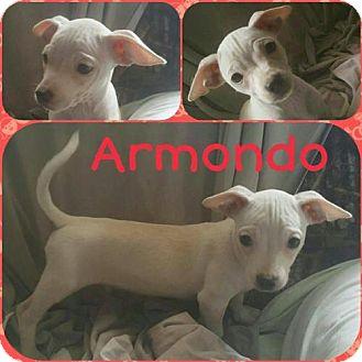 Chihuahua Mix Dog for adoption in Orlando, Florida - Armando