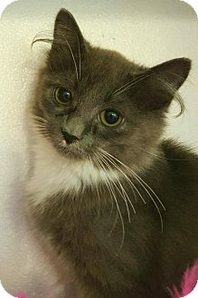 Domestic Mediumhair Kitten for adoption in Germantown, Maryland - Cela