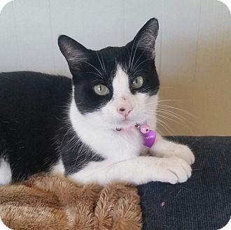 Domestic Shorthair Cat for adoption in Burbank, California - Gigi