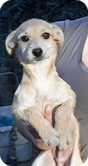 Dachshund Mix Dog for adoption in Peralta, New Mexico - **JIMMY