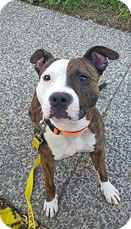 Terrier (Unknown Type, Medium) Mix Dog for adoption in Bloomfield, New Jersey - Elvira