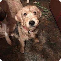 Adopt A Pet :: Sugar - Rockford, IL