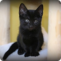Adopt A Pet :: Shadow - Glen Mills, PA