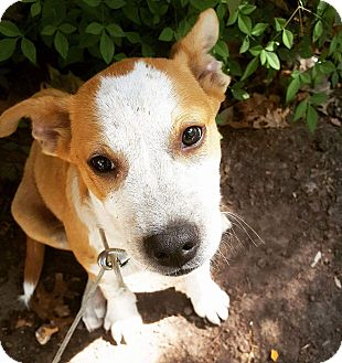 Cattle Dog/Blue Heeler Mix Puppy for adoption in kennebunkport, Maine - Skylar