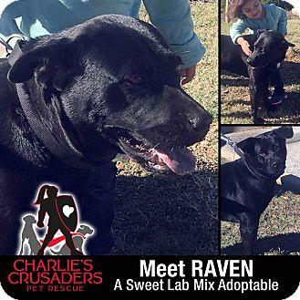 Labrador Retriever Mix Dog for adoption in Spring City, Pennsylvania - Raven