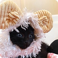 Bombay Kitten for adoption in Los Angeles, California - Crow