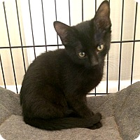 Domestic Shorthair Kitten for adoption in Lombard, Illinois - Donnerail