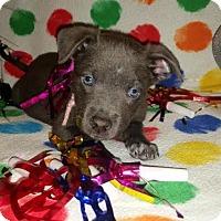Adopt A Pet :: Confetti - Detroit, MI