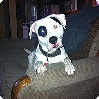 Adopt A Pet :: Ulysses - Hartland, MI