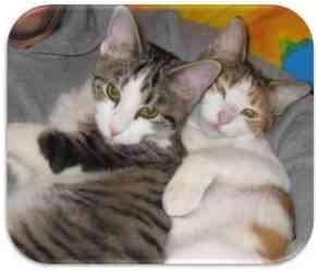 Domestic Shorthair Cat for adoption in Solon, Ohio - Paige