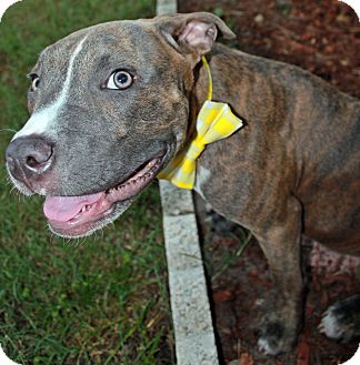 Pit Bull Terrier Puppy for adoption in Orlando, Florida - Spencer