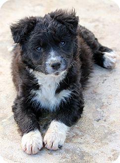 Lab Mix Pups Adopted Puppy Pennigton Nj Labrador Retriever Portuguese Water Dog Mix