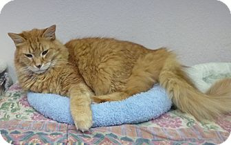 Norwegian Forest Cat Cat for adoption in St. Petersburg, Florida - Sir Arthur