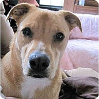 Labrador Retriever/Carolina Dog Mix Dog for adoption in Winnsboro, South Carolina - Simba