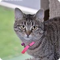 Domestic Shorthair Cat for adoption in Burlington, Ontario - Mabel