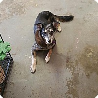 Australian Shepherd Mix Dog for adoption in Eddy, Texas - Sassy