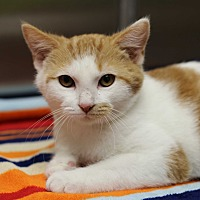 Domestic Shorthair Kitten for adoption in Marietta, Georgia - Doc