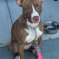 Adopt A Pet :: DAISY DUKES - Southampton, NY
