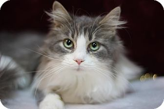 Domestic Longhair Cat for adoption in Midland, Michigan - Grace