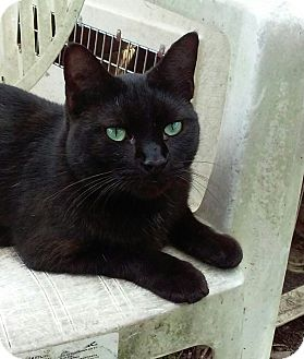 Domestic Shorthair Cat for adoption in Coral Springs, Florida - Gino