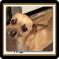 Adopt A Pet :: Darius - Tombstone, AZ