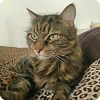 Domestic Mediumhair Cat for adoption in Toronto, Ontario - Tiger