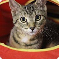 Domestic Shorthair Kitten for adoption in Carlisle, Pennsylvania - Sake