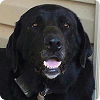 Adopt A Pet :: Bear - Allentown, PA
