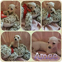 Chihuahua Mix Puppy for adoption in Orlando, Florida - Amee