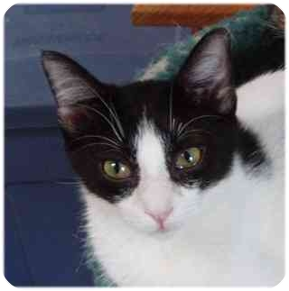 Domestic Shorthair Cat for adoption in AUSTIN, Texas - David