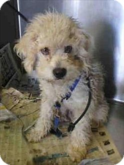 Poodle (Miniature) Mix Dog for adoption in Encino, California - Junior