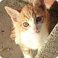 Domestic Shorthair Kitten for adoption in Alamo, California - Tony