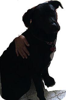 Labrador Retriever Mix Dog for adoption in Manchester, New Hampshire - Dolly