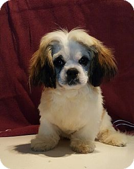 Shih Tzu Puppy for adoption in Overland Park, Kansas - Comet