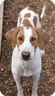 Ibizan Hound/Hound (Unknown Type) Mix Dog for adoption in Chattanooga, Tennessee - Nela