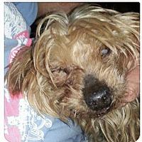 Adopt A Pet :: Angel - Tallahassee, FL