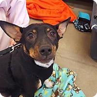 Adopt A Pet :: Beau - Enid, OK