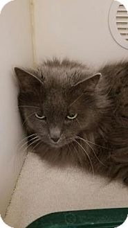 Domestic Mediumhair Cat for adoption in Reisterstown, Maryland - Little Sweetie