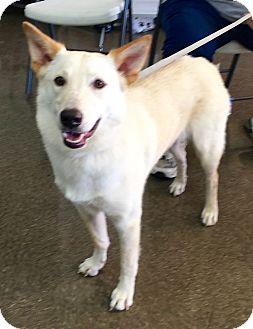 Labrador Retriever/Siberian Husky Mix Dog for adoption in San Antonio, Texas - Sullivan