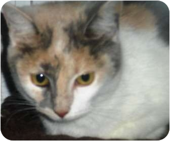 Calico Cat for adoption in Summerville, South Carolina - Juno