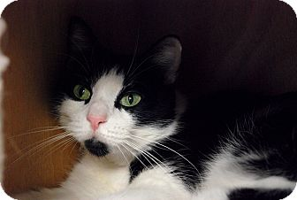 Domestic Mediumhair Cat for adoption in Chicago, Illinois - Cocoa Puff